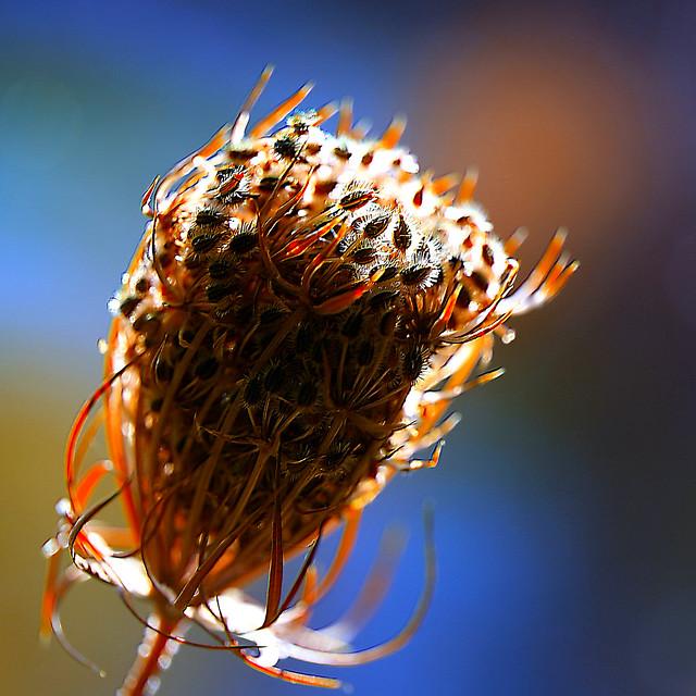 Daucus carota - bird's nest