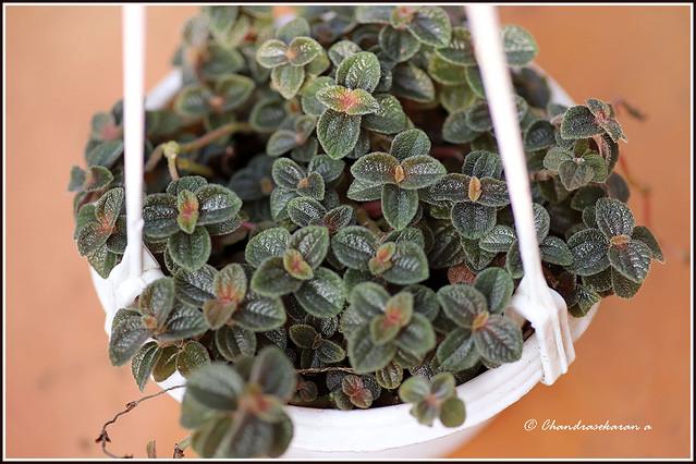 10445 - friendship plant -pilea