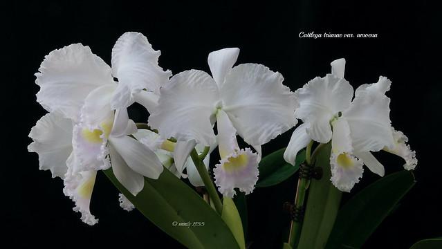 Cattleya trianae var. amoena
