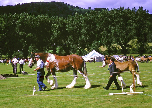 Clydesdale mare & foal