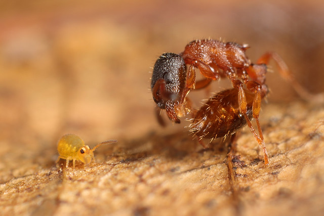 The springtail and the ant...