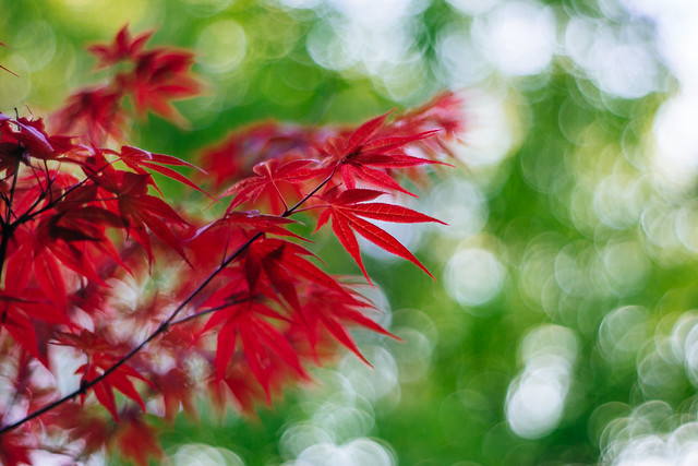 Japanese red maple [Explore]