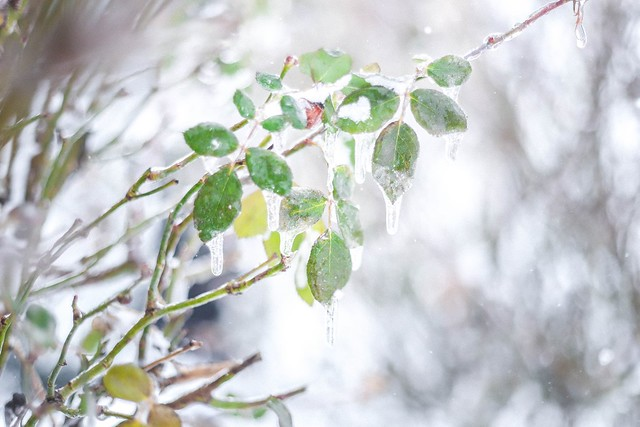 icy rose leaves