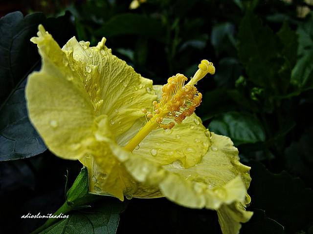 Hibiscus 089