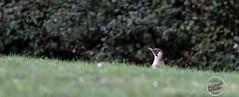 Pic vert - Picus viridis - European Green Woodpecker : IMG_5170_©_Michel_NOEL_2021_lac_Creteil