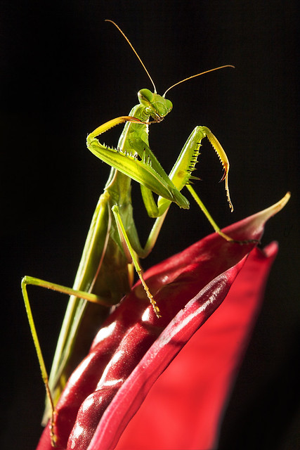 Mantis #26