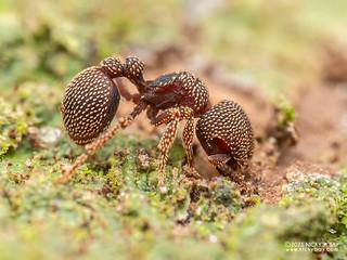Sesame seed ant (Calyptomyrmex beccarii) - P1162678