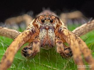 Huntsman spider (Heteropoda sp.) - P1162345