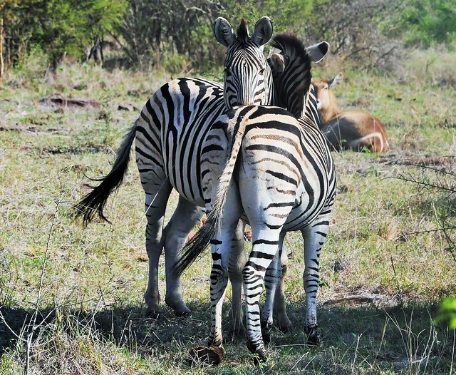 A Tender Moment Between Burchell's Zebras (Equus quagga burchellii)