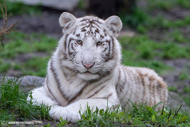 White Tiger Cub - Zoo Amneville - France
