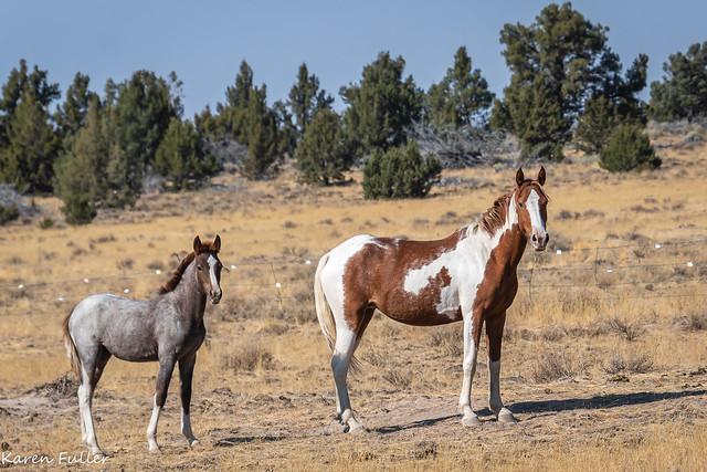 Steen's Wild Horses