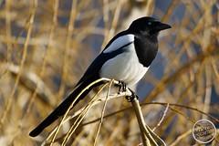 Pie bavarde - Pica pica - Eurasian Magpie : IMG_5370_©_Michel_NOEL_2021_lac_Creteil
