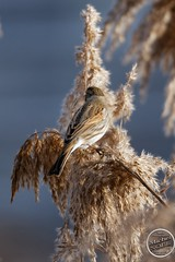 Bruant des roseaux - Emberiza schoeniclus - Common Reed Bunting : IMG_5375_©_Michel_NOEL_2021_lac_Creteil