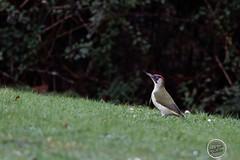 Pic vert - Picus viridis - European Green Woodpecker : IMG_5171_©_Michel_NOEL_2021_lac_Creteil