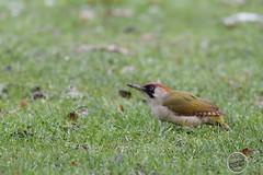 Pic vert - Picus viridis - European Green Woodpecker : IMG_5075_©_Michel_NOEL_2021_lac_Creteil