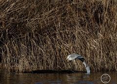 Héron cendré - Ardea cinerea - Grey Heron : IMG_5330_©_Michel_NOEL_2021_lac_Creteil