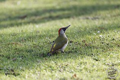 Pic vert - Picus viridis - European Green Woodpecker : IMG_5396_©_Michel_NOEL_2021_lac_Creteil