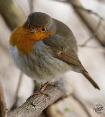 Rougegorge familier - Erithacus rubecula - European Robin : IMG_5434_©_Michel_NOEL_2021_lac_Creteil
