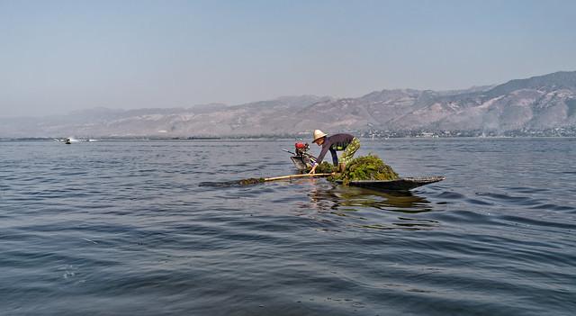 Chez les Inthas : collecte d'algues sur le lac Inlé