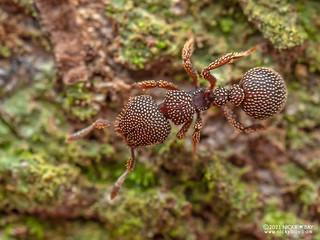 Sesame seed ant (Calyptomyrmex beccarii) - P1162691