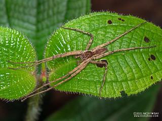 Huntsman spider (Heteropoda sp.) - P1162303