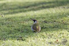 Pic vert - Picus viridis - European Green Woodpecker : IMG_5395_©_Michel_NOEL_2021_lac_Creteil