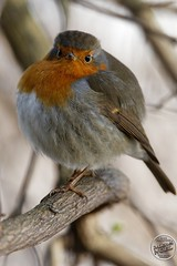 Rougegorge familier - Erithacus rubecula - European Robin : IMG_5440_©_Michel_NOEL_2021_lac_Creteil