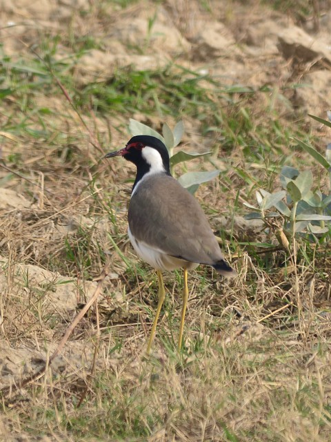 Red watteled Lapwing