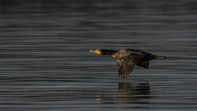 double-crested cormorant fly by.