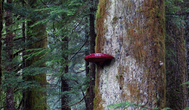 Old Growth UFO