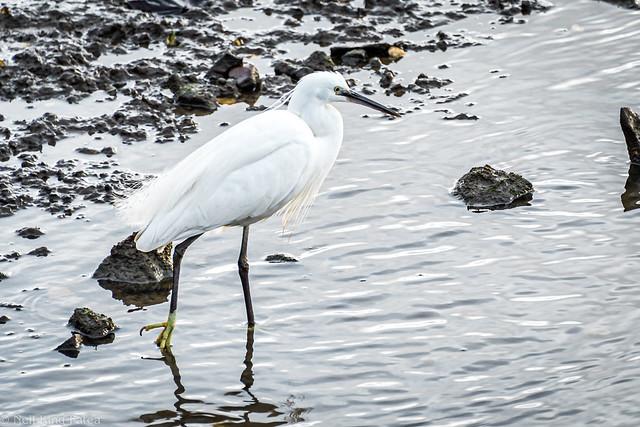 Little Egret - Photocredit Neil King -5