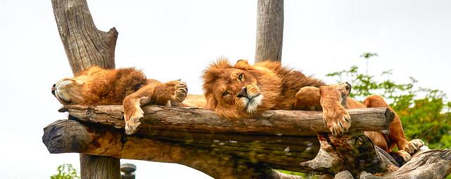 The lions sleep...