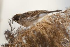 Bruant des roseaux - Emberiza schoeniclus - Common Reed Bunting : IMG_5388_©_Michel_NOEL_2021_lac_Creteil