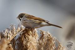 Bruant des roseaux - Emberiza schoeniclus - Common Reed Bunting : IMG_5379_©_Michel_NOEL_2021_lac_Creteil