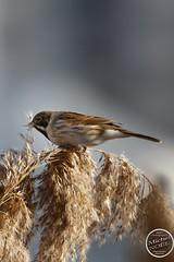 Bruant des roseaux - Emberiza schoeniclus - Common Reed Bunting : IMG_5378_©_Michel_NOEL_2021_lac_Creteil