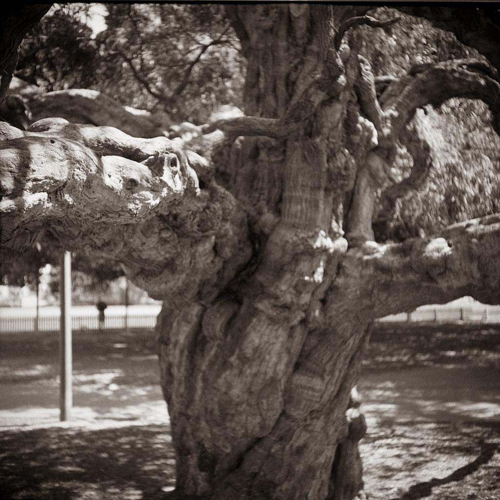 Tree 8 @Rushcutters Bay