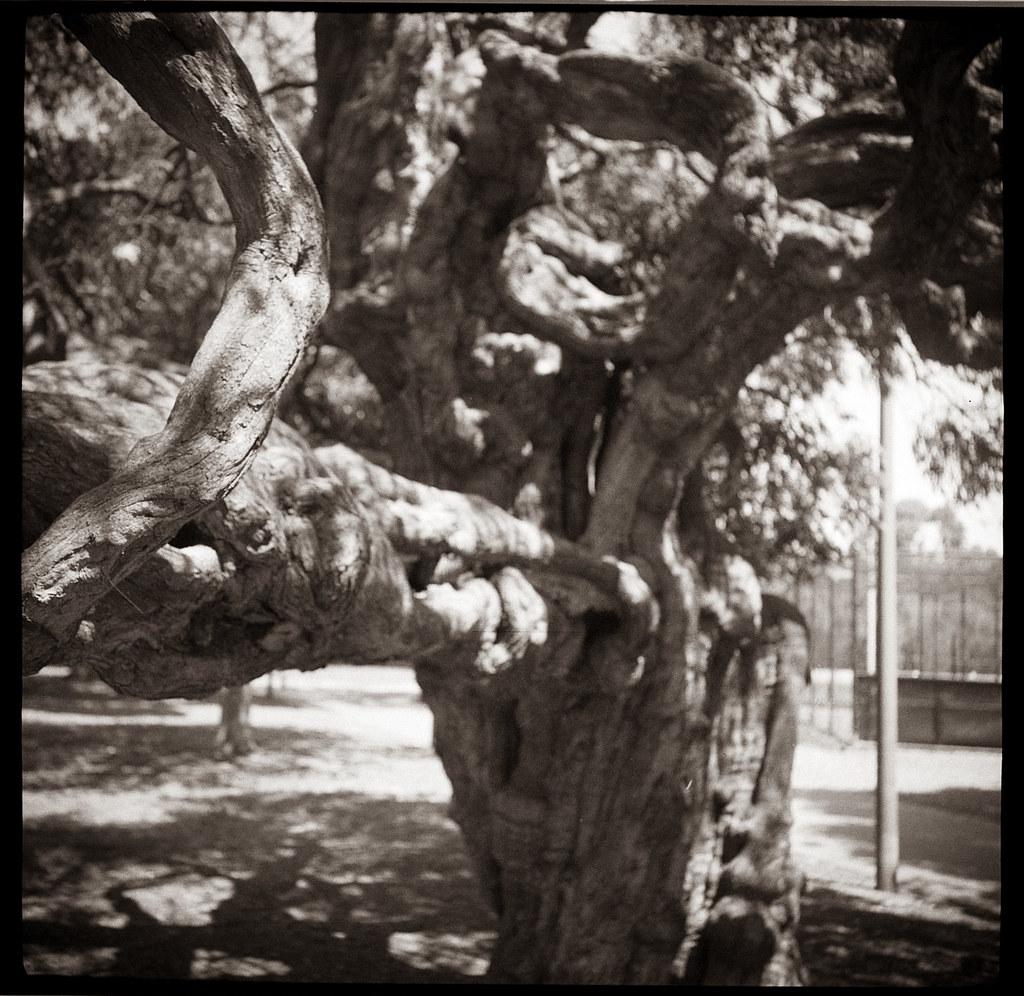 Tree 2 @Rushcutters Bay