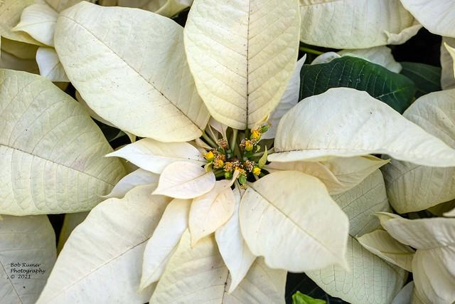 Poinsettia White..