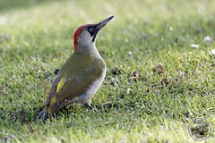 Pic vert - Picus viridis - European Green Woodpecker : IMG_5396_©_Michel_NOEL_2021-1_lac_Creteil