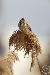 Bruant des roseaux - Emberiza schoeniclus - Common Reed Bunting : IMG_5389_©_Michel_NOEL_2021_lac_Creteil