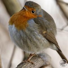 Rougegorge familier - Erithacus rubecula - European Robin : IMG_5439_©_Michel_NOEL_2021_lac_Creteil