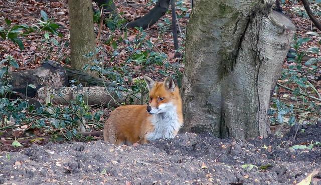 Fox, Springfield Park, London