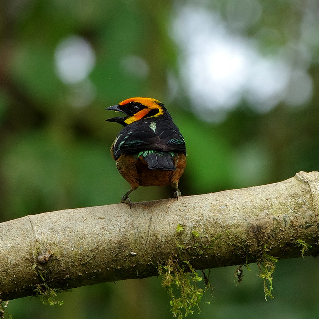 Flame-faced tanager (Tangara parzudakii).  Mindo Cloud Forest Reserve in Milpe, north-western Ecuador.
