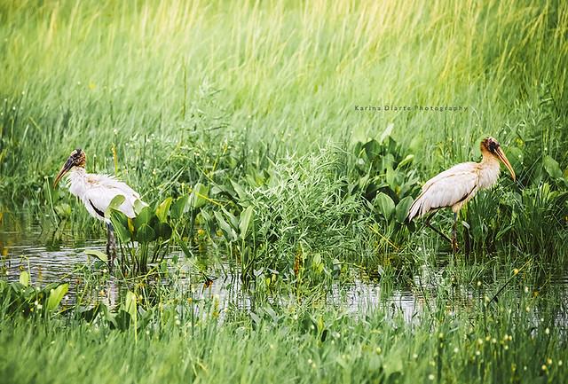 Tuyuyu / Wood Stork