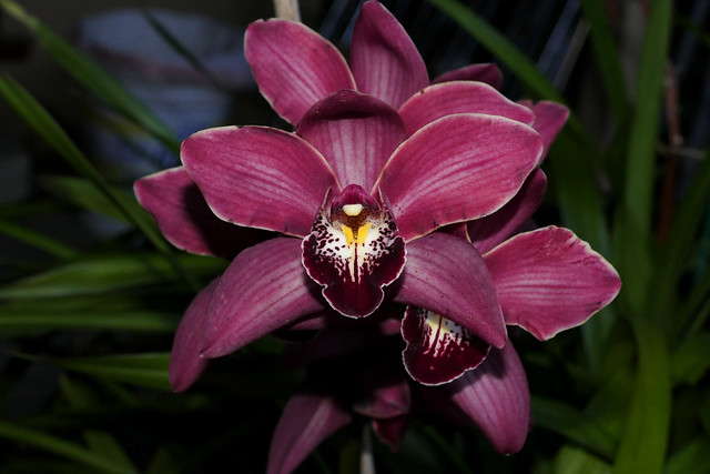 Cymbidium Unknown [c/o Karen] hybrid orchid 1-21