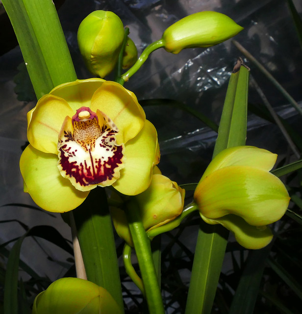 beginning to bloom, Cymbidium Kelly's Winter 'Phyllis' hybrid orchid 1-21