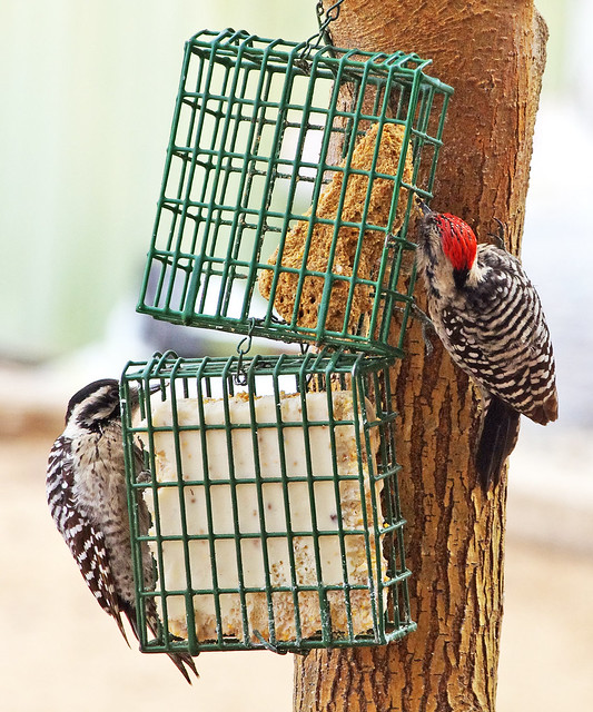 Ladder-backed Woodpeckers (Picoides scalaris), female and male.  Albuquerque, New Mexico, USA.