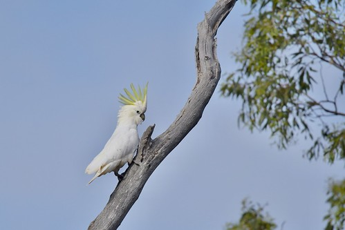 Sulphur-crested Cockatoo | by friendsintheair