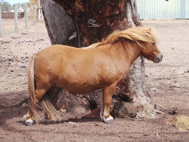 Glen Forest Tourist Park & Vineyard Australia cattle
