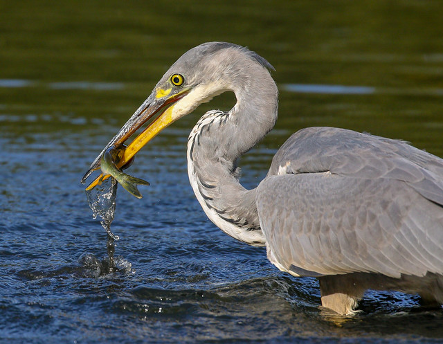 Heron Fishing (Explored)